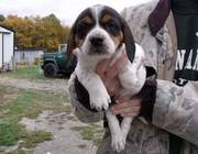 Beagle Puppies Now Ready To Go