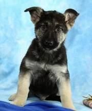 Lovely German Shepherd Puppy For Adoption