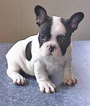 French Bulldog puppies for caring home