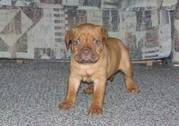 Dogue De Bordeaux Puppies For Decent Homes