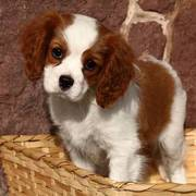 Cavalier King Charles Puppy For Adoption Now