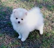 jaminelarry@gmail.com Gorgeous and adorable pomeranian puppies