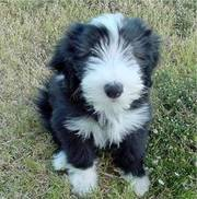 Bearded Collie Puppy for sale